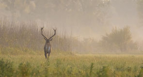 Red dear running in autumn foggy day Stock Photography