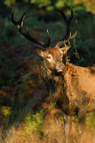 Red dear stag in full rut. Red Deer stag in full rut glory Royalty Free Stock Photography