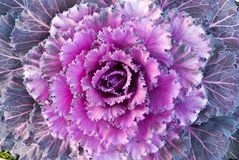 Red decorative cabbage Stock Photos