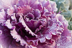 Red decorative cabbage covered with hoarfrost Stock Photography
