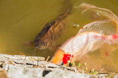 Red decorative carp floating in a pond near the surface of the water Stock Photo
