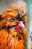 Red decorative chicken or rooster. Kholhatai breed chickens The head is covered with feathers. Red decorative chicken or rooster. Kholkhatai chicken breeds The stock images