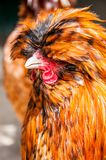 Red decorative chicken or rooster. Kholhatai breed chickens The head is covered with feathers. Red decorative chicken or rooster. Kholkhatai chicken breeds The royalty free stock image