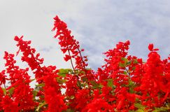 Red decorative garden flowers and buds with sky in the bryant park, kodaikanal. Red decorative flowers and buds in the bryant garden, kodaikanal. Kodaikanal is royalty free stock photography
