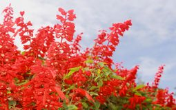 Red decorative garden flowers and buds with sky in the bryant park, kodaikanal. Red decorative flowers and buds in the bryant garden, kodaikanal. Kodaikanal is stock photography