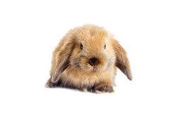 Red decorative rabbit Stock Photos