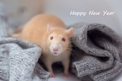 The red decorative rat with red eyes sits in a knitted gray sweater. Inscription Happy New Year stock photo