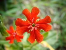 Red. A deep red flower Royalty Free Stock Photos