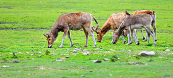 Red Deer. Pasture  of deers on the green meadow Stock Photography