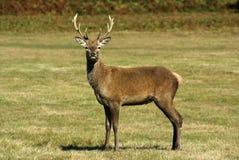 Red Deer stock image