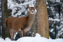 Red deer Stock Images