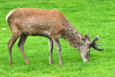 Red Deer. Feeding on a meadow Stock Image