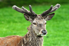 Red Deer. Buck of Red Deer with antlers Stock Photography