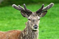 Red Deer. Buck of Red Deer with antlers Stock Photos