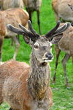 Red Deer. Buck of Red Deer with antlers Royalty Free Stock Images