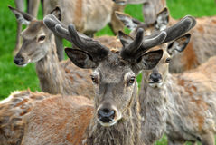 Red Deer. Buck of Red Deer with antlers Royalty Free Stock Image