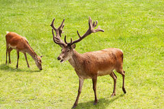 Red Deer Royalty Free Stock Photography