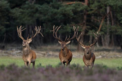 Free Red Deer Royalty Free Stock Photos - 20779338