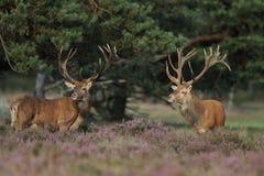 Red Deer. Two Red Deer between the heather Stock Photos