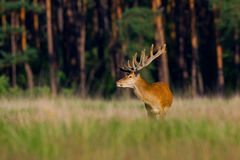 Red Deer. A red deer in a national park in Holland Royalty Free Stock Images