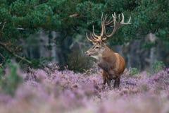 Red Deer. A Red Deer in purple heather Royalty Free Stock Photo
