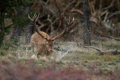Red Deer. Splashing water in the air Royalty Free Stock Photos