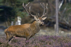 Red Deer. In the mating season Stock Image