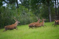 Red Deer. Herd of large Red Deer Running in a grassy Field Stock Image