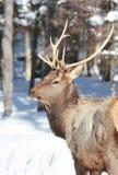 Red deer Royalty Free Stock Image