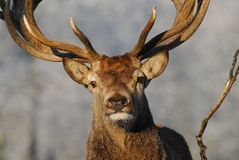 Red-deer Stock Photo