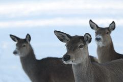 Red-deer Stock Image