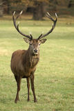 Red Deer. Wild deer stands facing the Camera Stock Photo