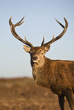 Red Deer animal portrait Stock Image