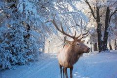 Red deer antlered Stock Image