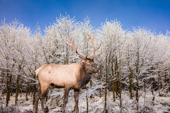 Red deer antlered on edge of the forest Stock Image