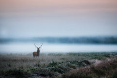 Red deer with antlers on foggy field the in Belarus. Beautiful red deer stag on the field near the foggy misty forest landscape in autumn in Belarus Stock Photo