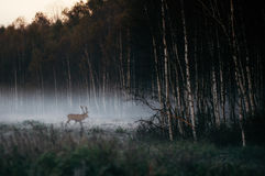 Red deer with antlers in foggy wooden the in Belarus. Royalty Free Stock Photography