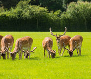 Red deer with antlers New Forest England UK stock photo