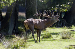 Red deer in Autumn Royalty Free Stock Photos