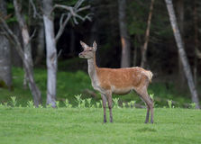 Red deer. In an autumn forest Royalty Free Stock Photography