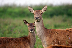 Red deer with baby Stock Photos