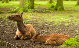 Red deer baby and its mother Stock Photo