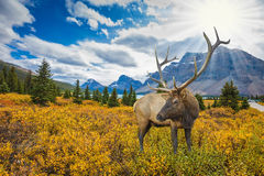 Red deer on the bank of azure lake Royalty Free Stock Images