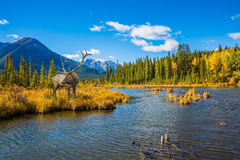 The red deer on bank of the lake. The concept of eco-tourism. The red deer with branchy horns is grazed on bank of the lake. Indian summer in the Rocky Mountains stock photos