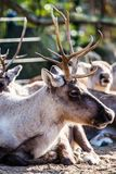 Red Deer   Royalty Free Stock Images