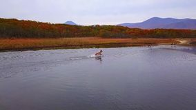 Red deer beautifully ran along smooth water with splashes in the wild in autumn. stock video