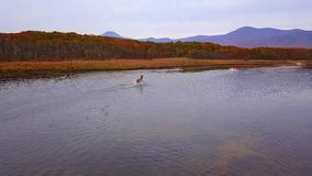Red deer beautifully ran along smooth water with splashes in the wild in autumn. stock footage