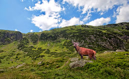 Red deer bellowing in the mountains Stock Images