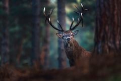 Red deer with big antlers looking towards camera. Red deer with big antlers looking curious towards camera stock photo