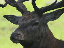 Red deer with big horns trophies for hunters. The owner of the forest, the alpha male guards his harem ,ready to fight to prove that he is the best and most stock image